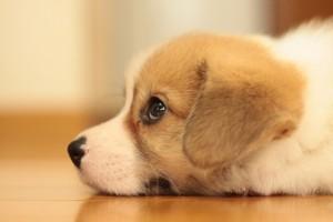 生後1~2ヶ月。耳がまだ垂れています。まれに垂れ耳のまま成犬になる個体もいます。