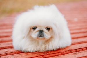 White Pekingese Pekinese Peke Whelp Puppy Dog Sitting On Wooden Bench
