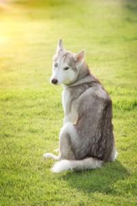 Beautiful siberian husky sitting back on green grass