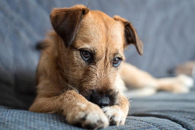 5歳以上の犬がかかりやすいクッシング症候群とは 症状や治療法など
