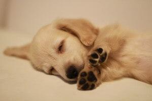 肉球を見せて眠る犬