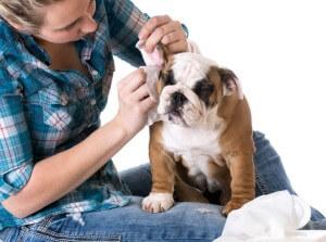 犬の耳を掃除する