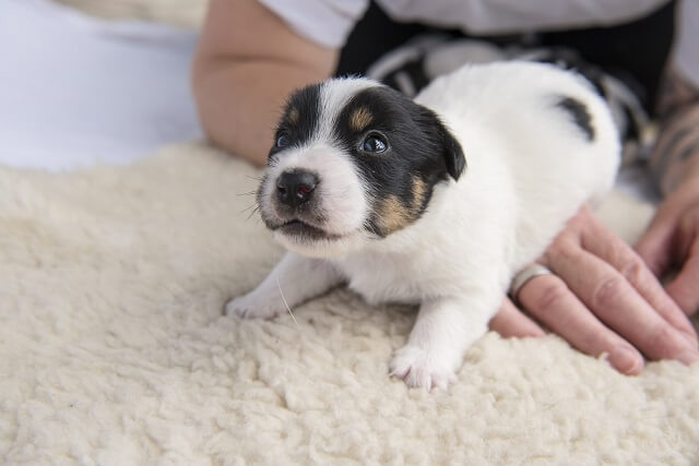 Jack Russell puppies 20 days old