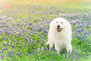 Portrait of a big fluffy white Great Pyrenees dog on Bluebonnet and Indian paintbrush field outside of Dallas, Texas, USA at springtime.Large dog breed with blooming wildflower.