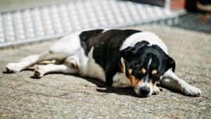 暑さでぐったりする犬