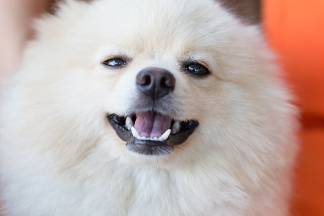 cute pet, closeup face white pomeranian dog