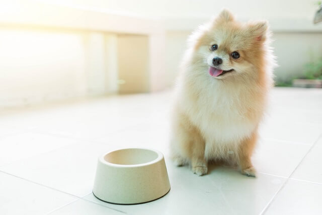 Dog pomeranian spitz smiling furry coat sitting in Home